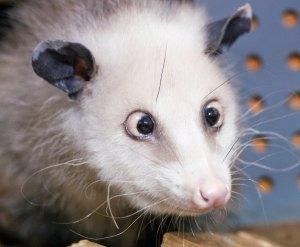 Cross-eyedOpossum--Heidi
