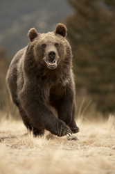 Grizzly_Running