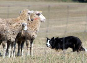 Border Collie & Sheep