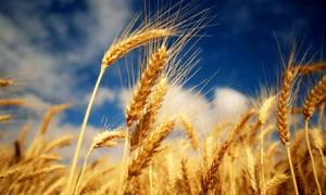 Harvest the Wheat