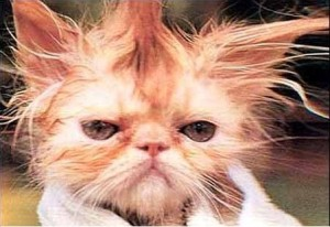 Bad Hair Day Cat