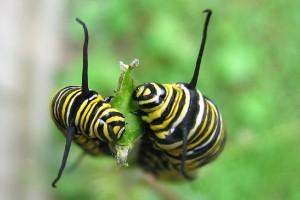 TwoCaterpillars